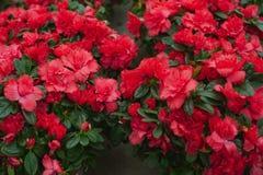 Flores de florescência - rododendro Fotos de Stock