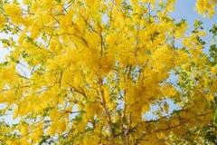 Flores de floresc?ncia amarelas bonitas, flor tailandesa amarela, folhas da ?rvore de chuveiro dourado ou da ?rvore de chuva dour imagem de stock