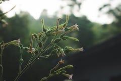 Flores de floresc?ncia do cigarro fotografia de stock