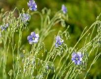 Flores de floresc?ncia do close-up azul do linho em um dia de mola brilhante imagem de stock