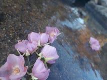 Flores de flutuação cor-de-rosa imagens de stock