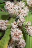 Flores de fragrans do Dracaena Imagem de Stock