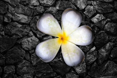 Flores de Frangi y pared de la roca Imagenes de archivo
