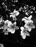 Flores de Frangipane ejemplo con efecto foto de archivo libre de regalías
