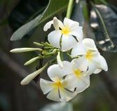 Flores de Frangipanni Fotografía de archivo