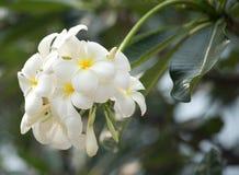 Flores de Frangipanni Imágenes de archivo libres de regalías