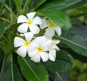 Flores de Frangipanni Foto de archivo