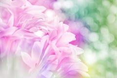 Flores de Frangipanni Imagens de Stock