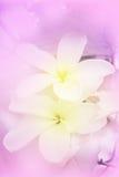 Flores de Frangipanni Foto de Stock