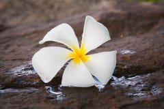 Flores de Frangipanni Imagem de Stock Royalty Free