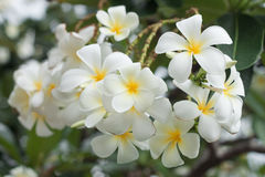 Flores de Frangipanni Imagen de archivo libre de regalías