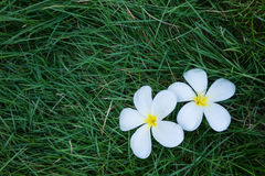 Flores de Frangipanni Fotos de archivo