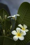 Flores de Frangipanni Fotografía de archivo libre de regalías
