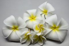 Flores de Frangipanni imagen de archivo