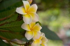 Flores de Frangipanni Imagenes de archivo