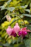 Flores de Fuschia Fotos de Stock Royalty Free