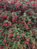 Flores de Fuschia que florescem na Irlanda Imagem de Stock