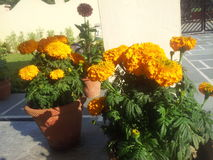 Flores de Gardhauli em india Fotografia de Stock Royalty Free