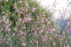 Flores de Gaura Belleza que movem-se no vento imagem de stock royalty free