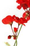 Flores de gerânio vermelhos Fotografia de Stock Royalty Free