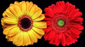 Flores de Gerber Foto de archivo libre de regalías