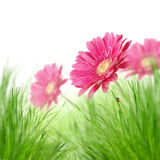 Flores de Gerber fotos de stock royalty free