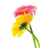 Flores de Gerber imagem de stock