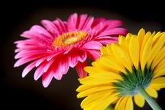 Flores de Gerber fotos de stock