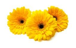 Flores de Gerber Imagen de archivo