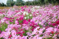 Flores de GeSang Imagem de Stock