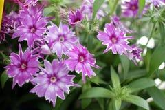 Flores de Gilliflower o del clavel Flores coloridas con la forma de estrellas Modelo floral Textur de la primavera y del fondo de foto de archivo libre de regalías