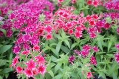 Flores de Gilliflower o del clavel Flores coloridas con la forma de estrellas Modelo floral Textur de la primavera y del fondo de imagen de archivo libre de regalías