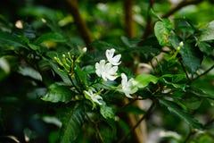 Flores de girândola fotografia de stock royalty free