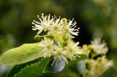 Flores de Glenleven Linden Tree fotos de archivo libres de regalías