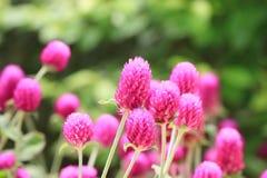 Flores de Globeamaranth Foto de archivo libre de regalías