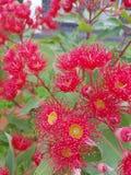 Flores de Gumtree Fotografia de Stock Royalty Free