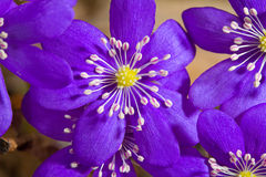 Flores de Hepatica Imagen de archivo libre de regalías