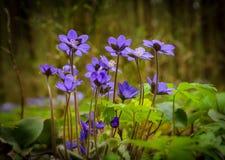 Flores de Hepatica na floresta Fotos de Stock Royalty Free