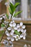 Flores de ?herry Imágenes de archivo libres de regalías