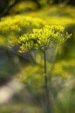 Flores de hinojo Imagen de archivo libre de regalías