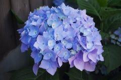 Flores de hortensias azules, en un fondo de tableros de madera Imagen de archivo libre de regalías