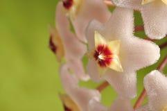 Flores de Hoya Fotografía de archivo