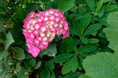 Flores de Hoya Carnosa Fotografia de Stock