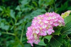 Flores de Hoya Carnosa Fotos de archivo libres de regalías