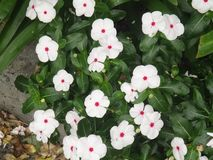 Flores de Impatiens Fotos de archivo