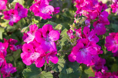 Flores de incandescência Foto de Stock Royalty Free