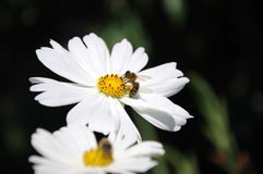 Flores de incandescência para a abelha Imagem de Stock