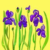Flores de Irise ilustração stock