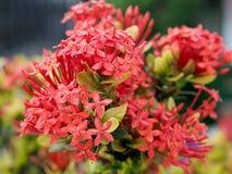 Flores de Ixora en el parque de Tailandia Fotos de archivo