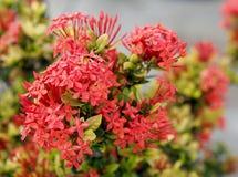 Flores de Ixora en el parque de Tailandia Fotografía de archivo libre de regalías